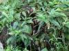 Phytolacca americana. Raisin d'Amérique.