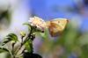 Catopsilia florella, Piéride du Cassier