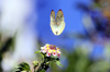 Piéride du Cassier. Catopsilia florella