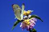Catopsilia florella. Papillon de la Réunion