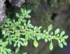 Pilée à petites feuilles