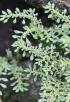 Pilea microphylla (L.) Liebm.