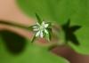 Drymaria cordata. Fleur