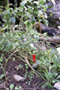 Piment Capsicum annuum