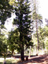 Pin de Cook ou Araucaria colonnaire Araucaria columnaris