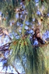 Pinus patula Schltdl. et Cham.