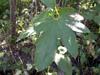 Luffa acutangula (L.) Roxb. Pipangaille. Pipangaye.