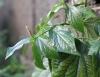 Piper sarmentosum Roxb