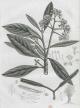 Pisonia lanceolata (Poir.) Choisy