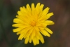 Taraxacum SP