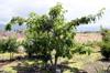 Pistache arbuste. Pachira glabra Pasq.