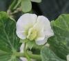 Pisum sativum L