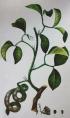 Pithecellobium unguis-cati (L.) Benth