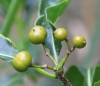 Pittosporum senacia Putt  Bois de joli coeur