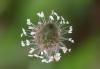 Plantago lanceolata L