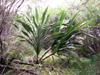 Cordyline mauritiana (Lam.) J.F. Macbr, Canne Marronne, espèce Endémique Réunion et Maurice