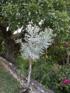 Plante crayon Euphorbia tirucalli