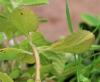 Plectranthus neochilus.
