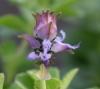 Plectranthus ornatus Codd