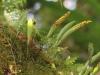 Pleopeltis macrocarpa (Bory ex Willd.) Kaulf