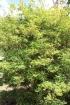 Plinia cauliflora (Mart.) Kausel