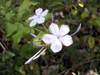 Plumbago auriculata Lam