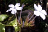 Plumbago du Cap ou Blue Dark - Plumbago auriculata