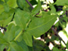 Feuilles : Plumbago du Cap ou Blue Dark - Plumbago auriculata
