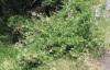Plumbago zeylanica. Pervenche à fleurs blanches.