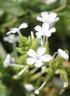 Plumbago zeylanica. Inflorescence.