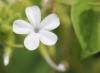 Plumbago zeylanica. Fleur.
