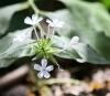 Plumbago zeylanica. Fleurs.