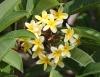 Plumeria. Frangipanier. Fleurs jaunes