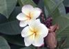Plumeria. Frangipanier. Fleurs blanches.