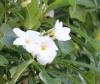 Plumeria pudica Jacq