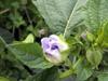 Fleur : Poc poc fleur bleue Nicandra physalodes ou Nicandre faux-coqueret