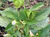 Poc poc fleur bleue Nicandra physalodes ou Nicandre faux-coqueret