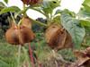 Fruits : Poc poc fleur bleue Nicandra physalodes ou Nicandre faux-coqueret