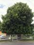 Podocarpus macrophyllus (Thunb.) Sweet