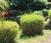 Bambou miniature