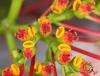 Euphorbia pulcherrima. Poinsettia, Étoile de noël