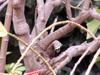 Poinsettia : tronc