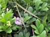 Centrosema virginianum (L.) Benth.