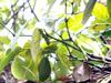 Poivrier Poivre Piper nigrum L Piper Aromaticum
