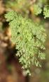 Polyphlebium borbonicum (Bosch) Ebihara et Dubuisson