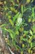 Polystachya concreta (Jacq.) Garay et H.R. Sweet.