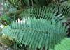 Polystichum ammifolium (Poir.) C. Chr.