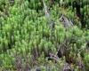 Polytrichastrum formosum (Hedw.) G.L.Sm