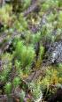 Polytrichastrum formosum (Hedw.) G.L.Sm.