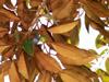 Chrysophyllum cainito, Caïmitier, Pomme de lait